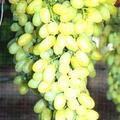 sentenel-sidlis20-120www-vinogradsar-ru_-3369743