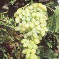 sentenel-sidlis20-220www-vinogradsar-ru_-5608045